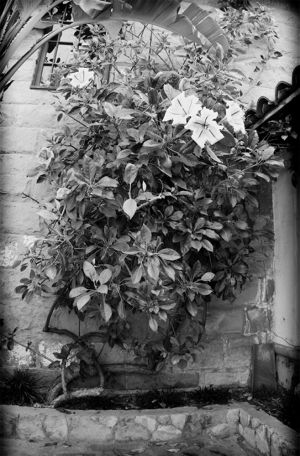 Santa Barbara Mission wall flower vine.jpg
